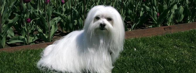 white Maltese dog with long hair