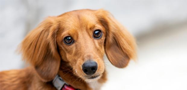 fawn long haired miniature dachshund