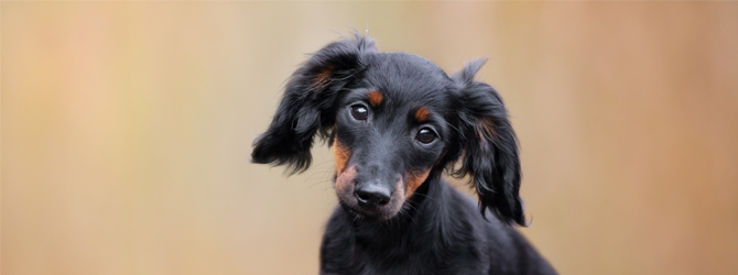 black and tan miniature dachshund puppy