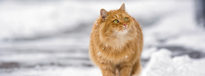 cat walking through snow