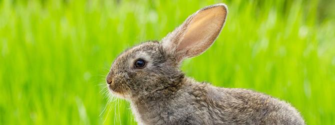 grey rabbit in field