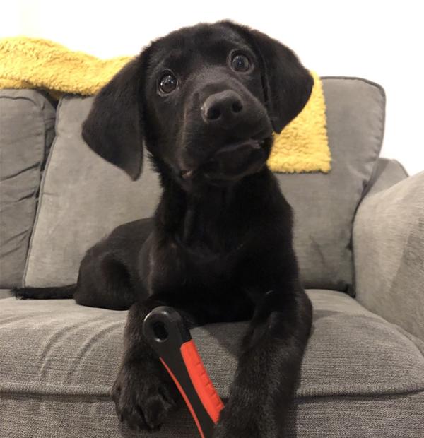 cute Labrador puppy on sofa