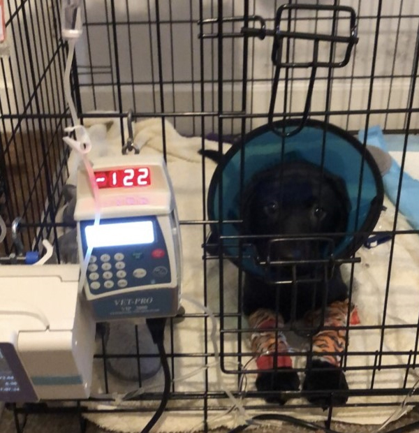 Labrador puppy with parvovirus on a drip at the vets