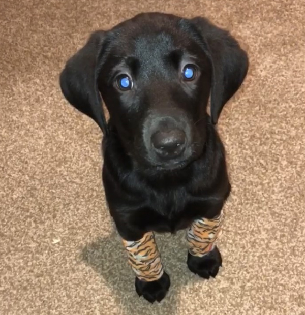 cute Labrador puppy with bandages