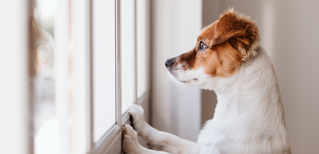 small white and brown dog looking out of the window