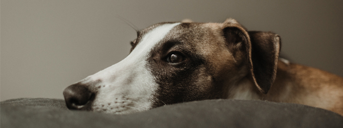 whippet laying on grey sofa