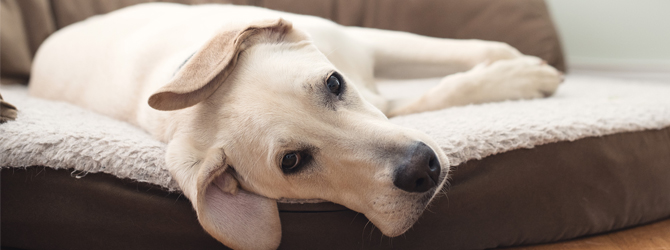 golden-labrador-laying-in-dog-bed