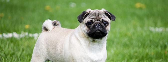 pale coloured pug with black snout