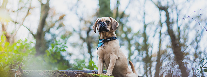 puggle looking up