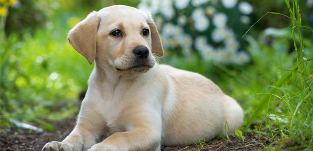 golden labrador puppy sitting on grass