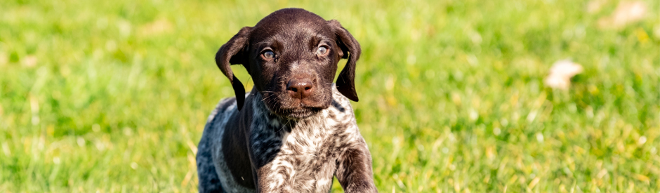 brown and white pointer puppy