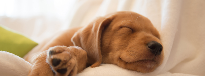 small brown puppy sleeping on couch
