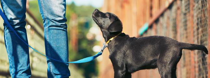 black puppy walking on a blue lead