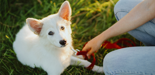 white puppy sitting on grass with red lead