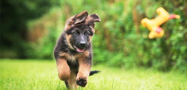 German shepherd puppy on grass