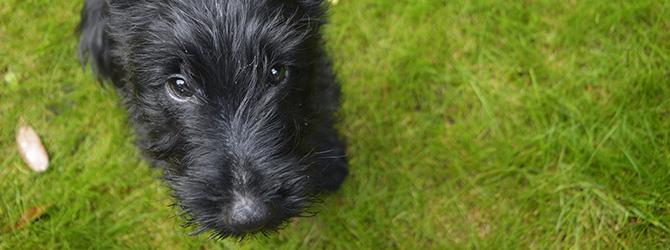 Scottish terrier on green fresh grass