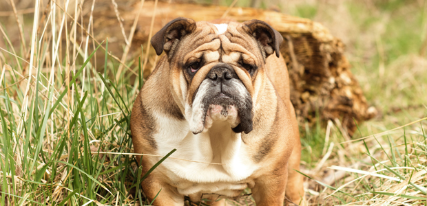 British Bulldog with skin folds