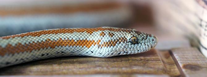 white and orange snake