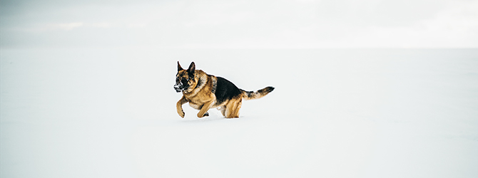 german shepherd walking through snow