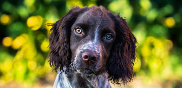 brown and white sprocker