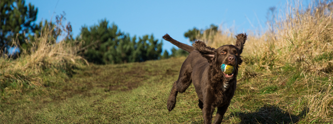 brown sprocker running down a grassy hill with a ball in its mouth