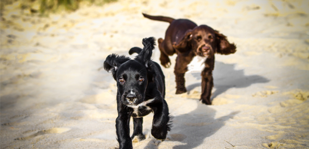 two sprocker puppies, one black, one brown, running on the beach