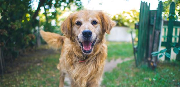 golden Labrador smiling