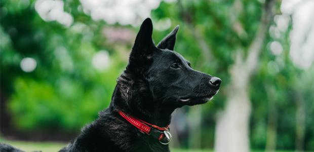 black dog wearing a red collar