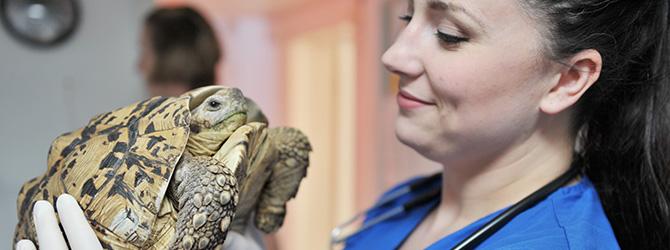 vet checking tortoise