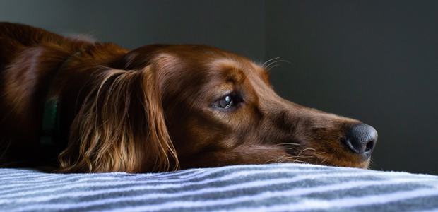 brown dog lying down on a bed