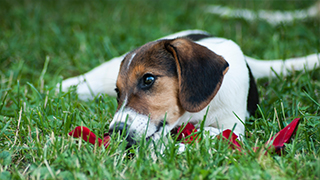 beagle puppy lying beside red roses