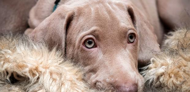 cute weimaraner puppy sitting on a rug