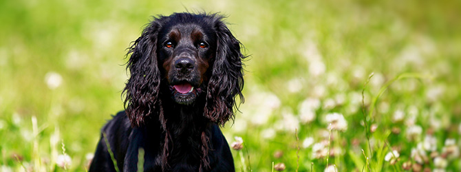 black cocker spaniel in field of tall grass