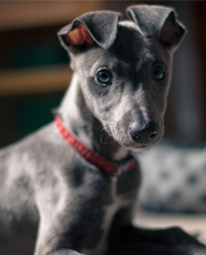 blue whippet puppy