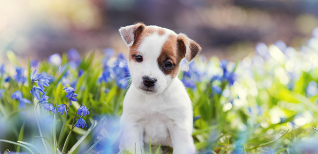 cute brown and white puppy sitting in flowers
