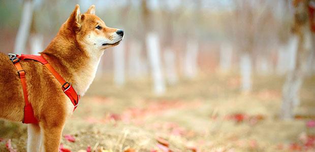 lhasa apso dog looking at trees