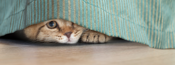 cat hiding behind hanging blanket