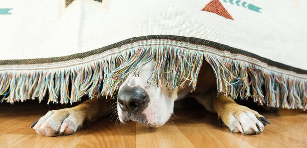 dog hiding behind hanging blanket
