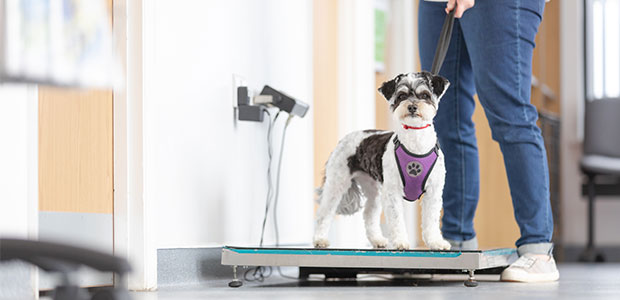 small dog on weighing scales
