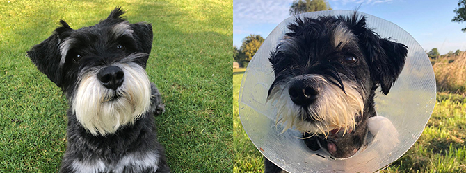 Before and after shots of Wilf the Schnauzer