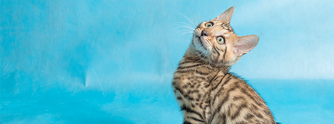 adorable tabby kitten looking up at blue background