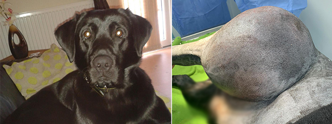 Labrador before, and then with huge lump on his side
