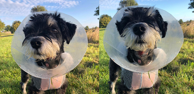 2 shots of Wilf wearing a surgical cone