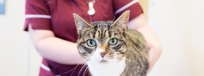 A Cat having a veterinary examination