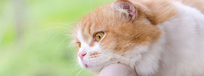 ginger and white cat looking out of window