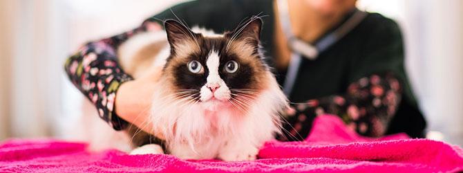 cat having a veterinary examination