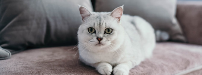white cat on sofa