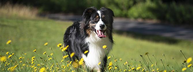 australian shepherd dog by yellow flowers