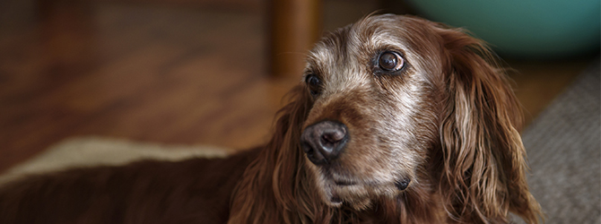 grey and brown dog with floppy ears