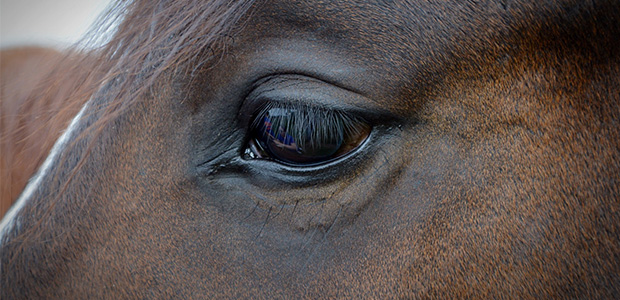 horse's eye close up